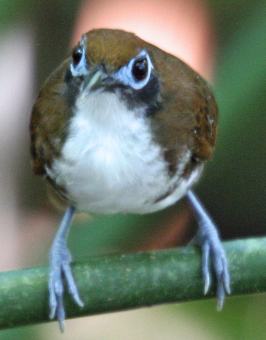 A white belly distinguishes the Bicolored species from other Antbirds that sport blue goggles.