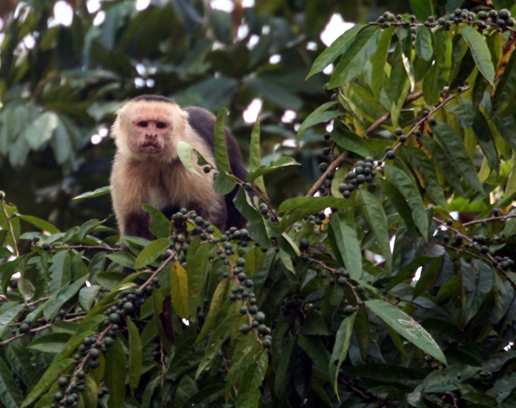 Capuchin (aka White-Faced) Monkey