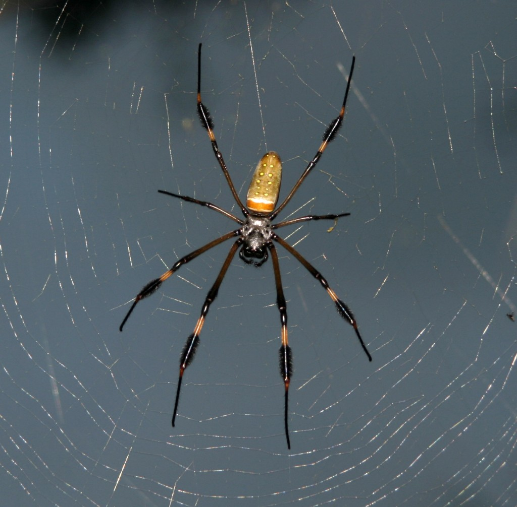 A hungry yet patient Golden Orb-weaver waits for flies, moths, butterflies, or beetles to be caught in its large web.