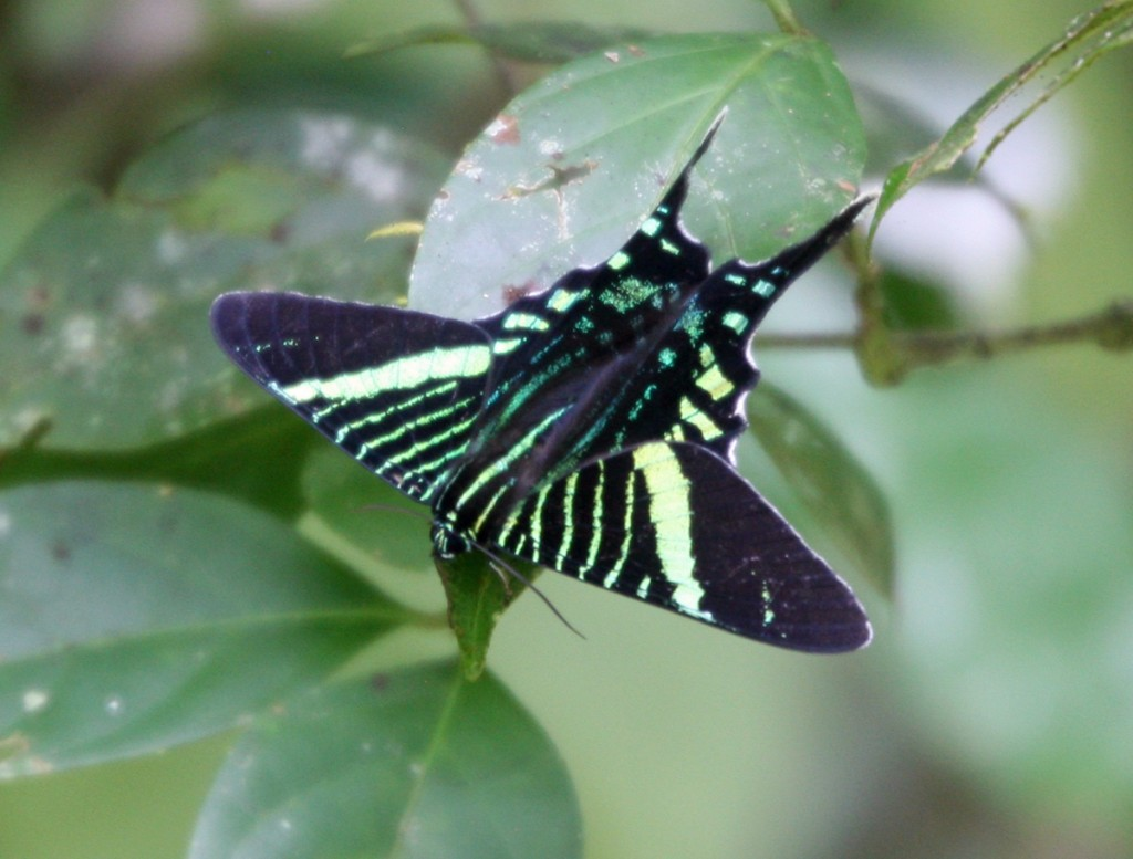 Green Page Moth