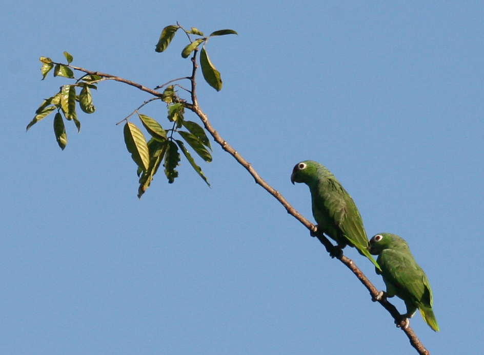 Red-lored Parrots