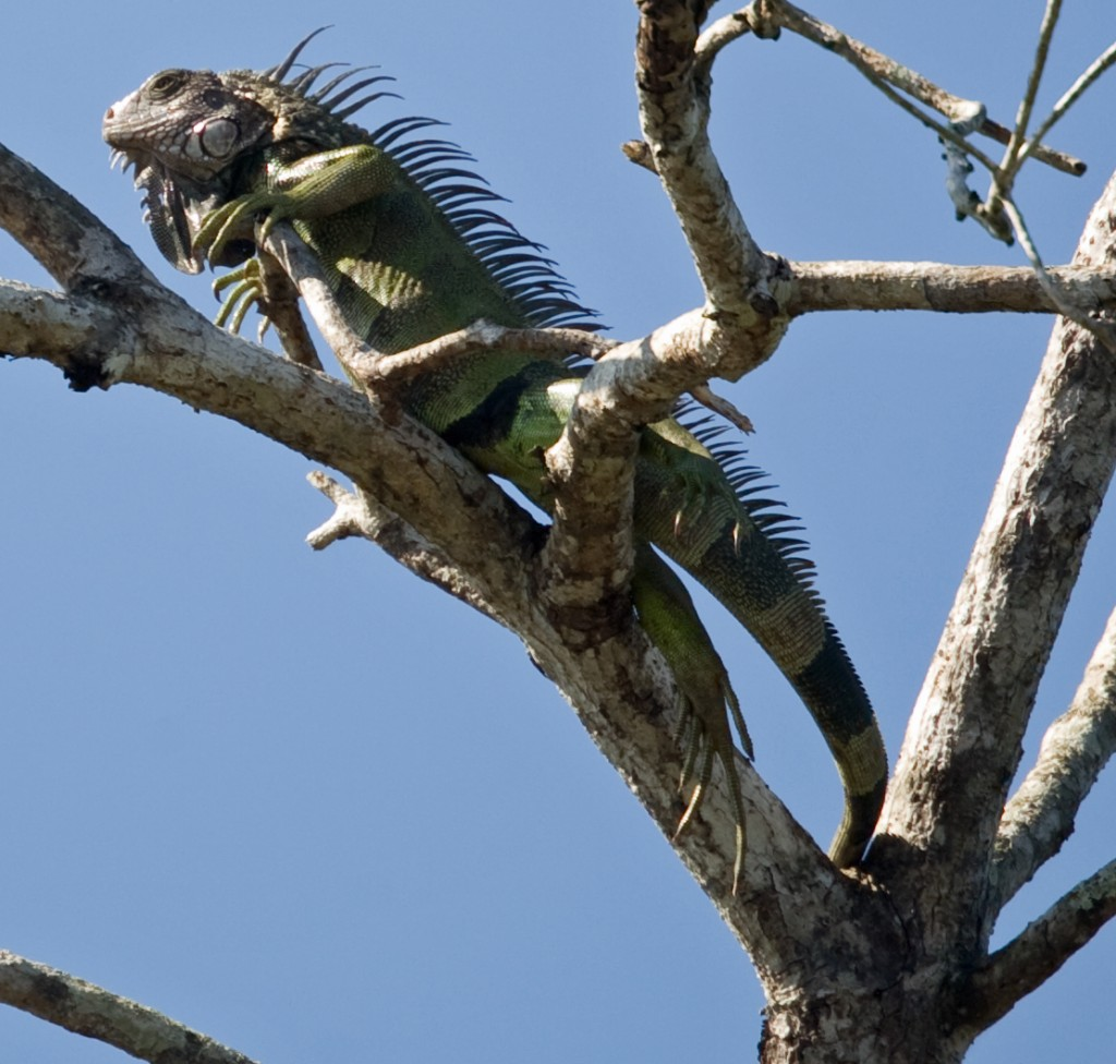 Fully exhibiting its prehistoric form, this iguana basks in the bright sun of the Pacific coast.