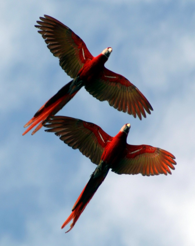 Two scarlet macaws fly overhead at the beach near Carate on the Osa Peninsula.