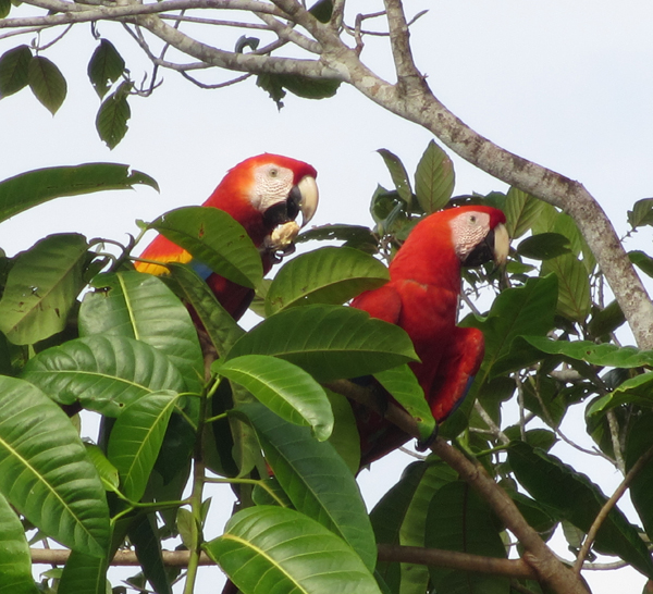 A pair of scarlet macaws in a tree along the road near Puerto Jimenez.