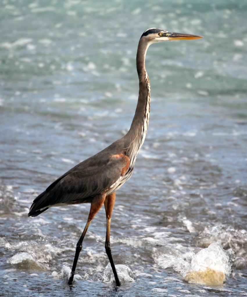 A young great blue heron wades in the shallow water where the Madrigal River meets the Pacific.