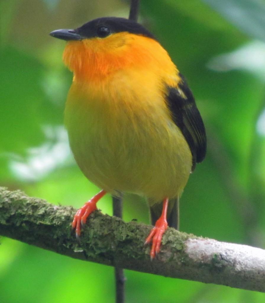 Male Orange-collared Manakin