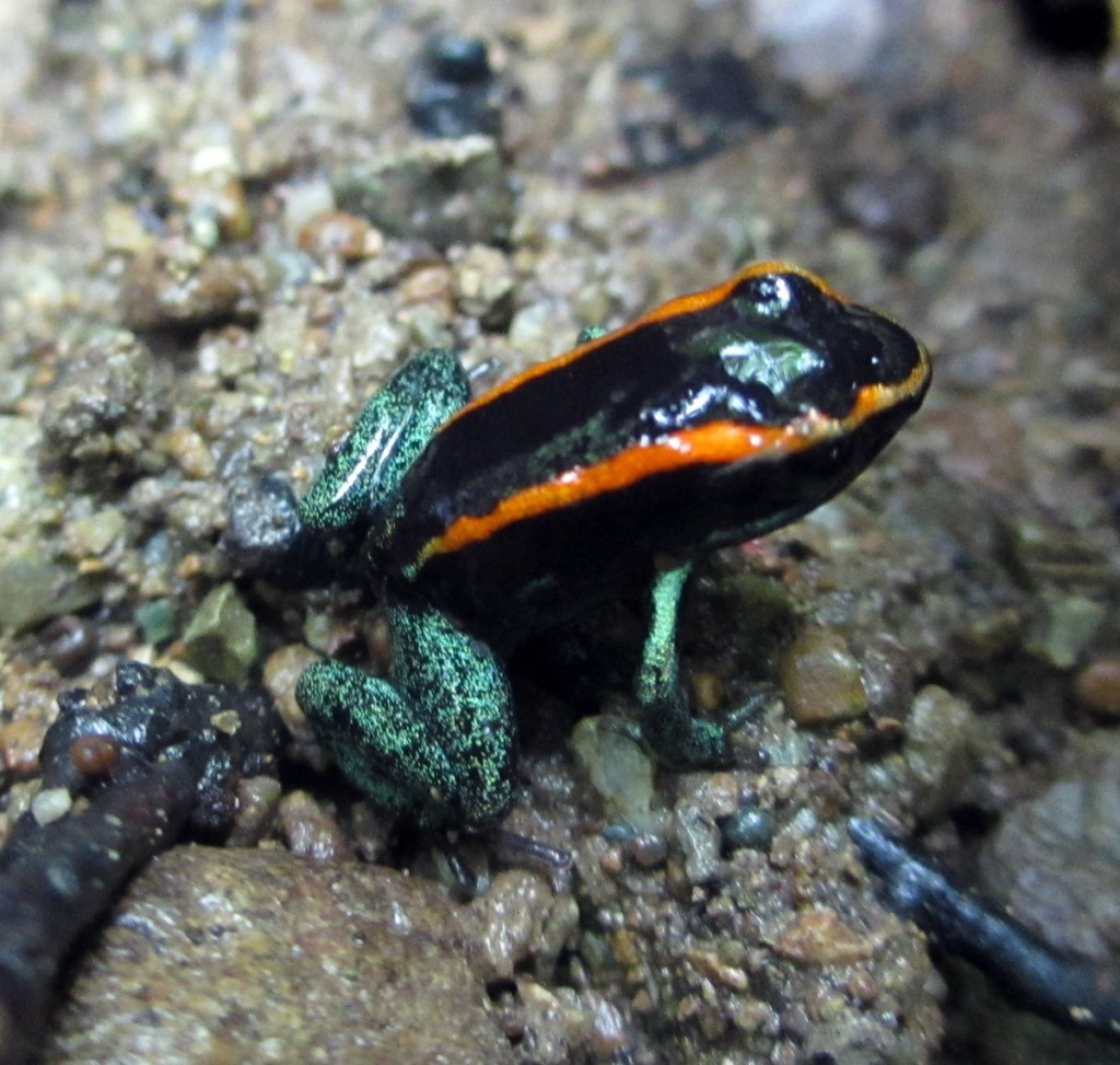 Golfo Dulce Poison Frog