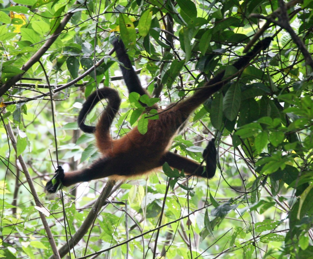 This Central American Spider Monkey demonstrates its full arachnid-like range, using arms, legs, and tail to travel through among the slender branches of the rainforest canopy.