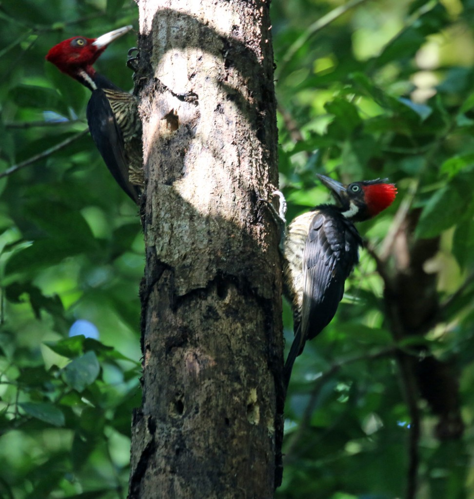Females of the Pale-billed Woodpecker species have a black forehead, as seen on the bird on the right.