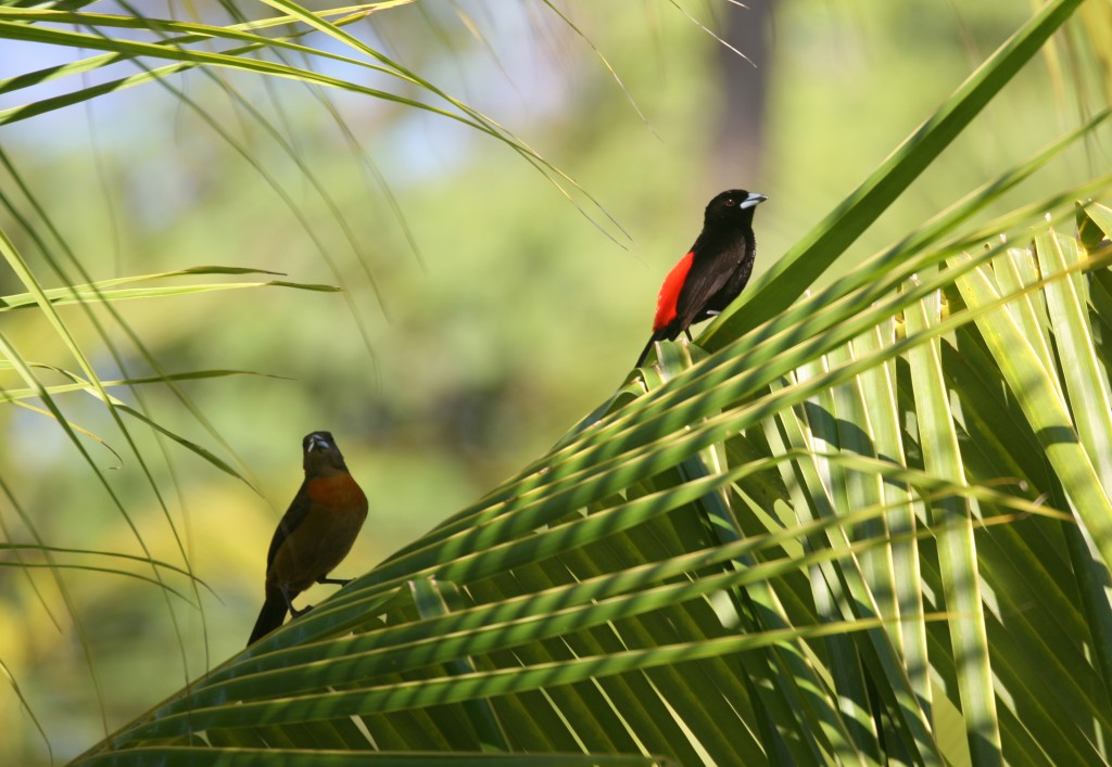 Pair of Cherrie's Tanagers