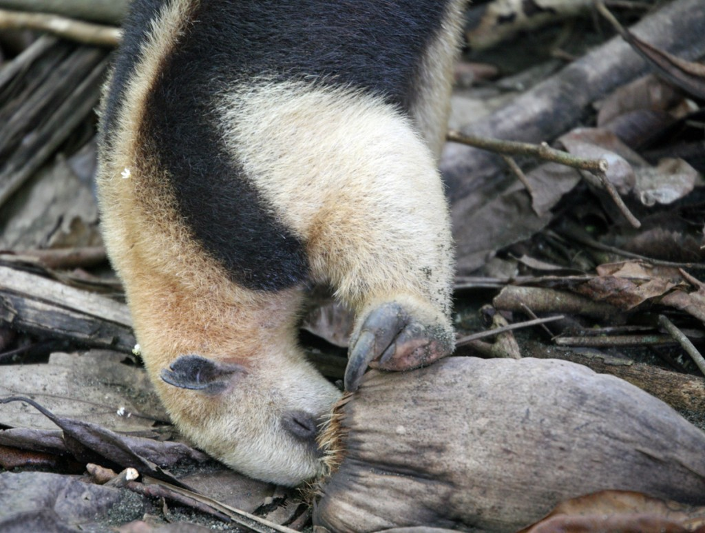 Northern Tamandua Eating Insects